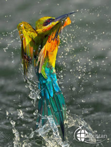 Colorful Birds in Northern Pakistan 2020