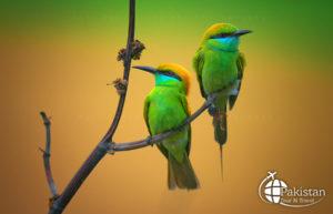 Magical Parrots of Punjab, Pakistan