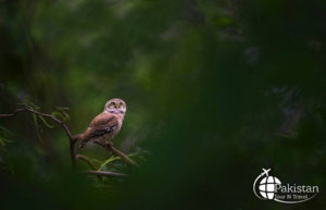 Thinking Owls of Punjab, Pakistan