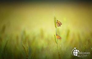 superlative Butterflies in Fields of Pakistan