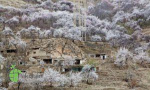 Cherry blossom in Nagar khas 1