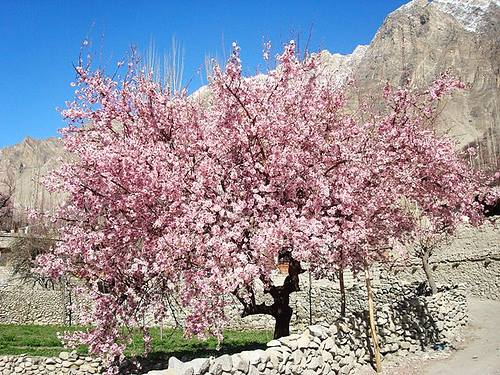 Cherry Blossom In Pakistan