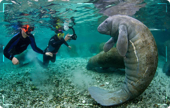 Swimming-with-Manatees